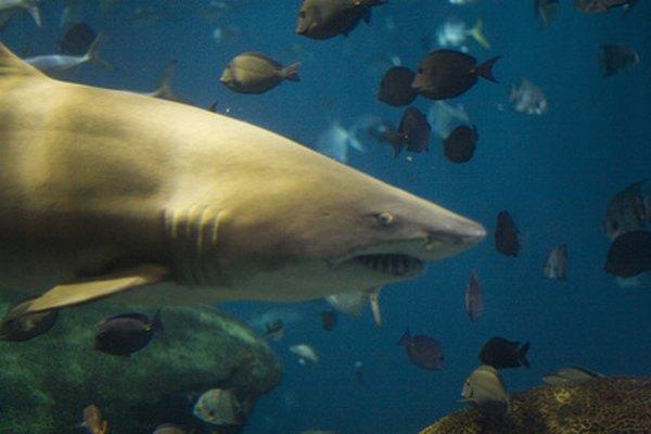 Existen alrededor de 400 especies de tiburones.
