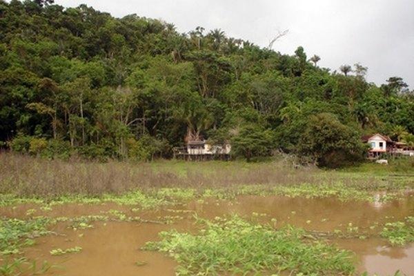 El río Amazonas alberga muchas plantas acuáticas exóticas.