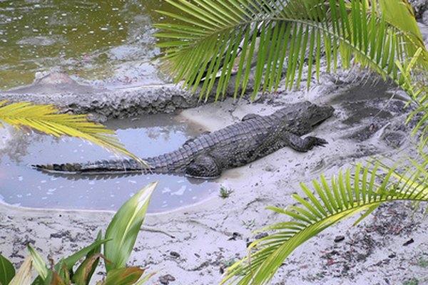 En América del Norte, el cocodrilo americano es el más grande de los reptiles.