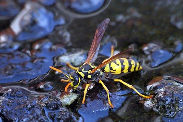 Las avispas son insectos que ofrecen muchos beneficios para el medio ambiente.