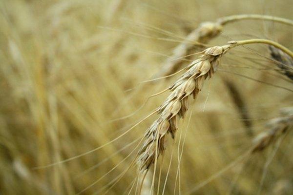 Los granos de trigo contienen proteínas