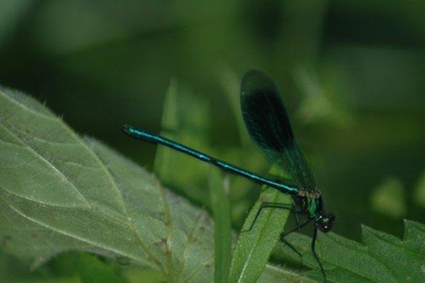 Las libélulas tienen tres partes corporales principales.