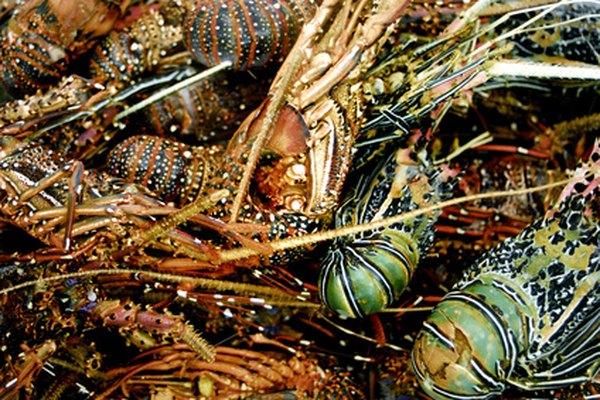 Puedes mantener a las langostas vivas por un día y medio o dos días en casa antes de cocinarlas, si las tratas bien.