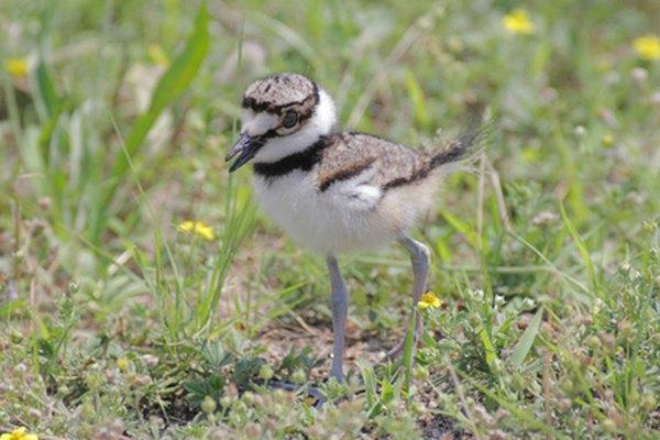 Las aves precoces costeras jóvenes nacen listas para caminar y encontrar comida.
