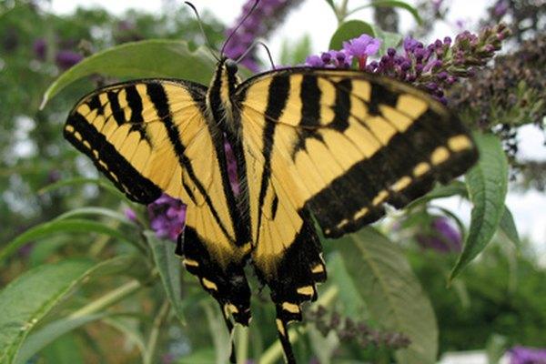 Conocer la forma correcta de conservar una colección de mariposas te asegurará la supervivencia de tu colección.