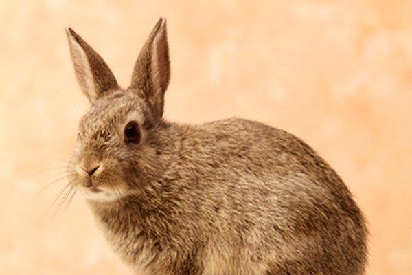 El conejo no cambia el color del pelaje durante el invierno.