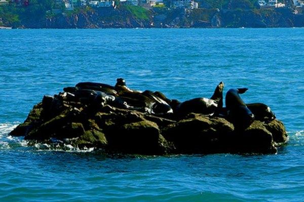 Las focas son animales muy inteligentes y sociables.