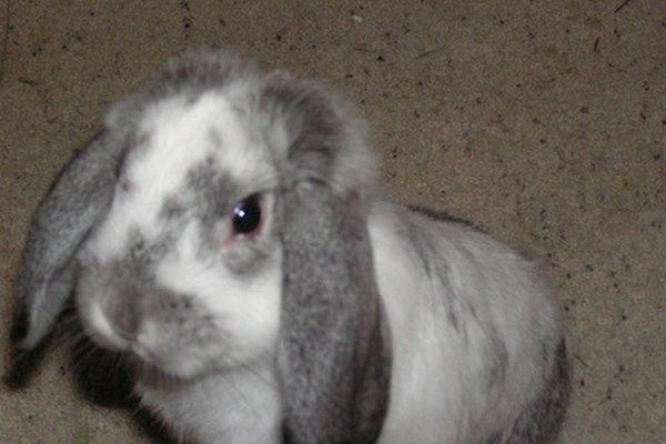 Lleva a pasear a tu conejo con una correa de calidad.