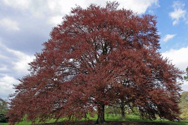 Las hayas crecen más de 50 pies (15 m) de altura.