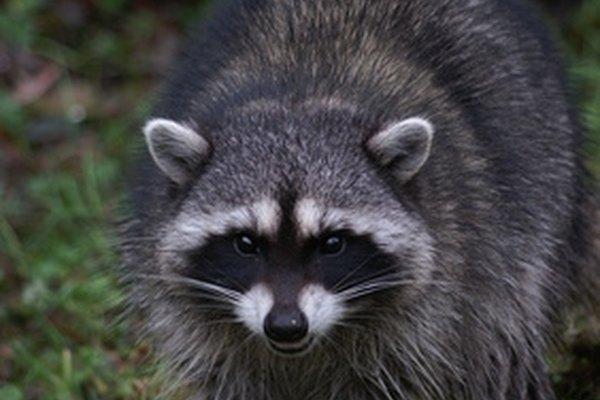 La rabia, una infección viral zoonótica, puede afectar a la mayoría de los mamíferos de sangre caliente.