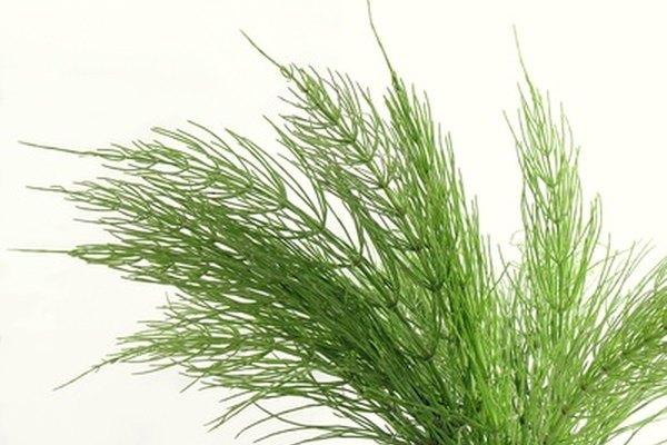 Los helechos cola de caballo son una planta vascular sin semillas.