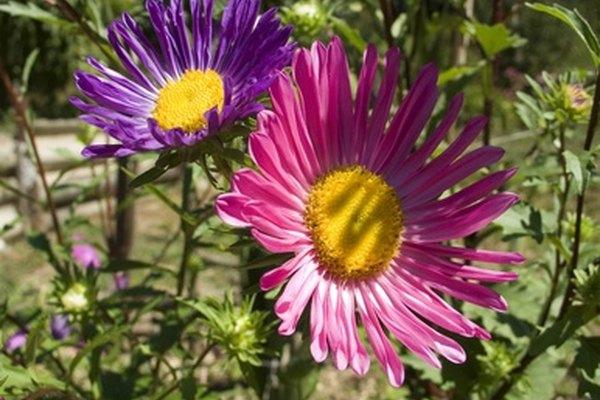 Los lindos asters dan flores coloridas, parecidas a las margaritas.