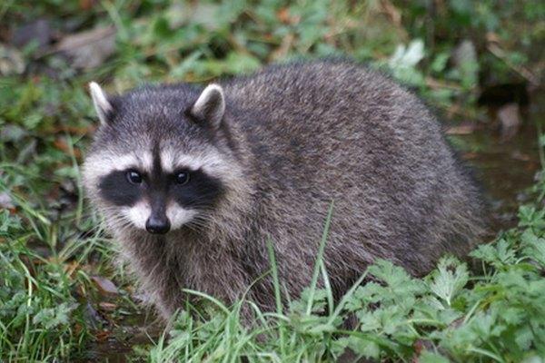 Los mapaches y coyotes a veces comen manzanas.