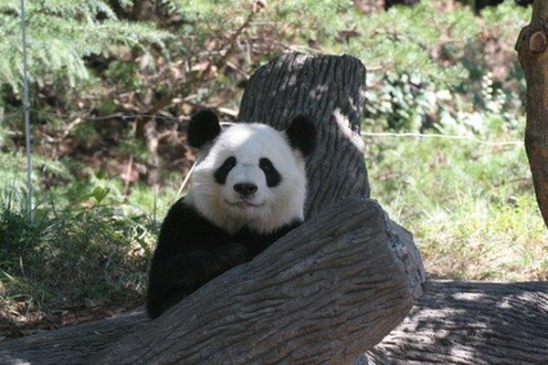 Los pandas gigantes suelen dormir en árboles.