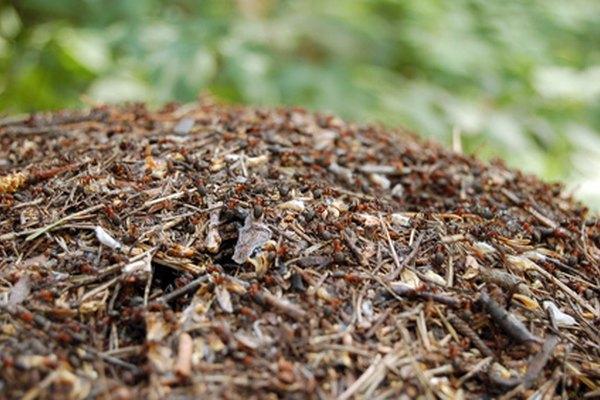 Enjambre de hormigas soldado sobre un montículo.