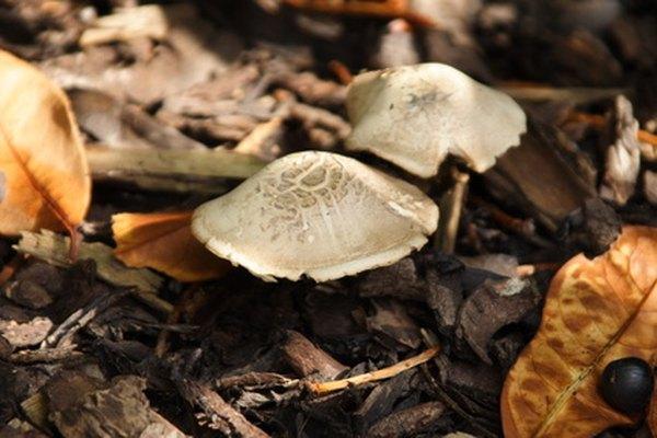 Los hongos producen esporas en lugar de semillas.