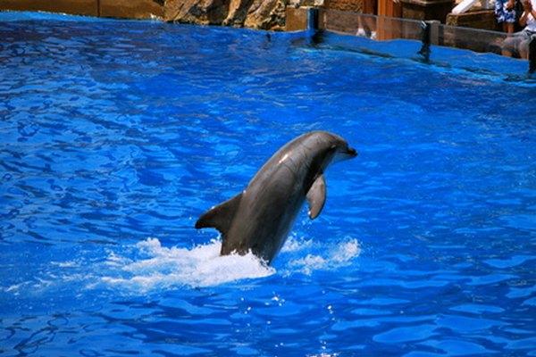 Los visitantes a Sea World pueden ver espectáculos con delfines.
