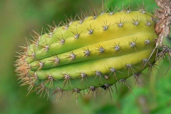 Las flores de los cactus que florecen de noche son especialmente blancas y muy grandes.