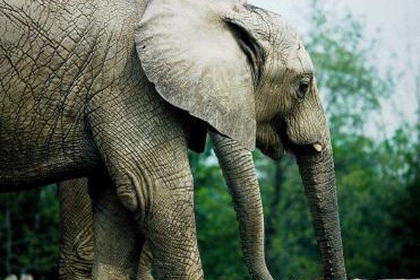 Como zoólogo, tal vez tengas que estudiar los hábitats de los elefantes.