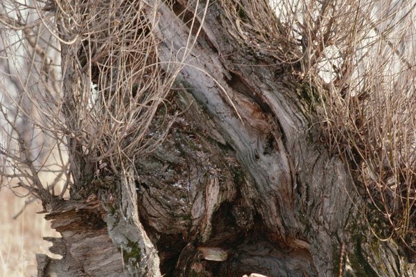 El nudo negro es una enfermedad que suele afectar a los árboles de cerezo y ciruelo.