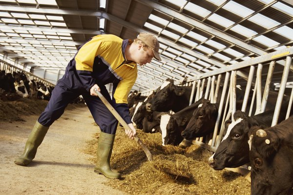 Farmer in Overalls Shovels Animal Feed to Rows of Cows in Cages