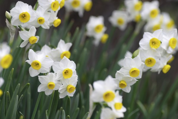 Japan narcissus