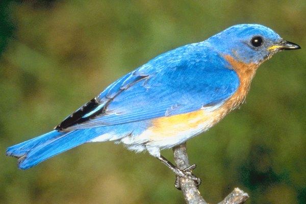 Cómo identificar a los pájaros azulejos.