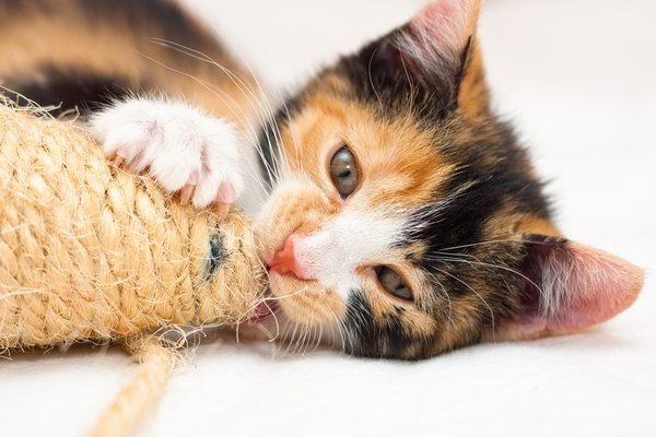 Calico kitten playing with a toy