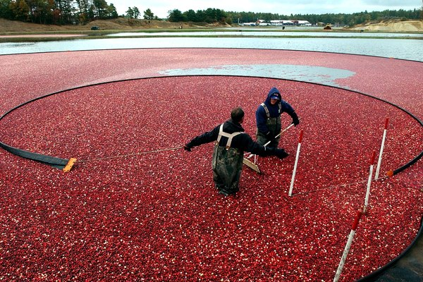 Harvest Begins At Colorful Cranberry Bogs