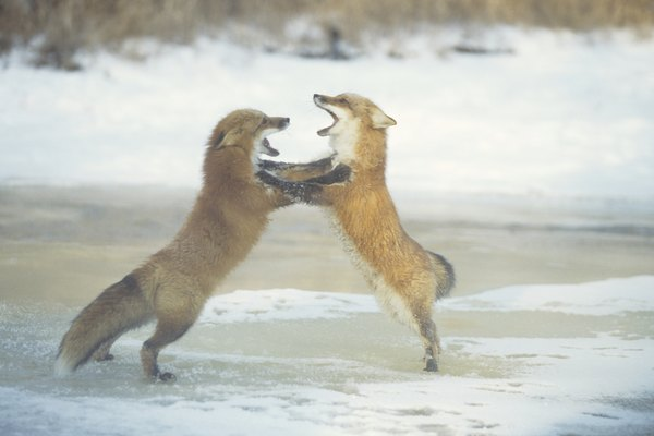 Red foxes (Vulpes vulpes) fighting, Minnesota, USA