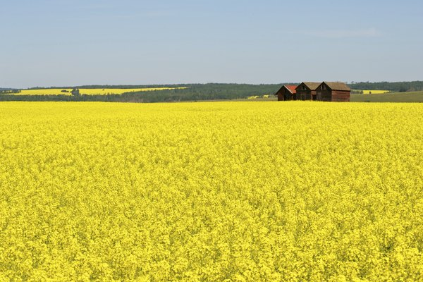 Red granaries and canola