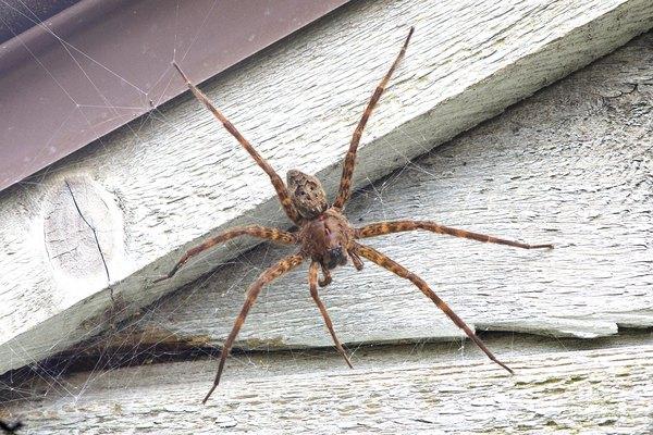 seven legged spider