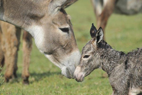 Una potrilla de burro frota las narices con su madre.