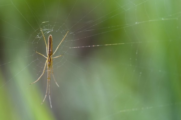 Long-jawed Orb Weaver (Tetragnatha laboriosa)