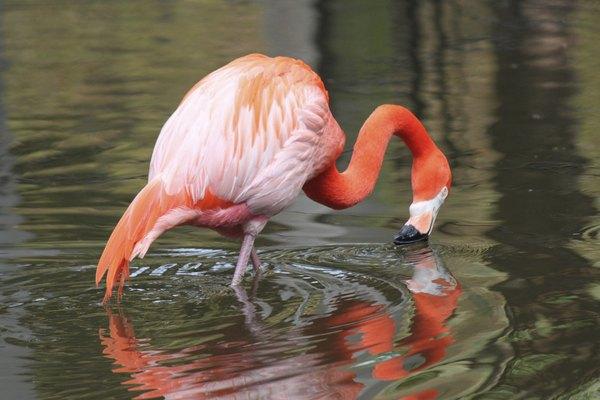 Flamingo bebiendo agua