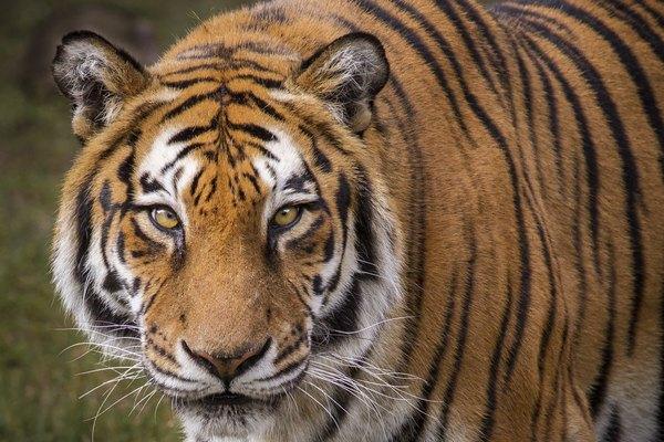 Acercamiento de un tigre.
