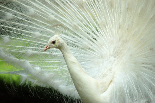 Un pavo real blanco extiende sus plumas.
