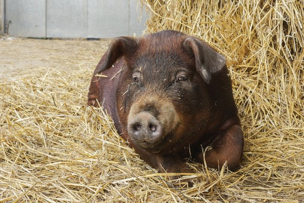 Duroc pig laying