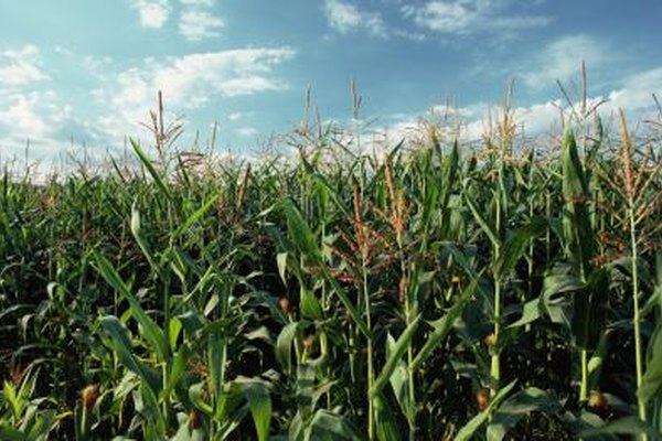 Los granjeros del medio oeste tienen una ventaja comparativa cultivando maíz.