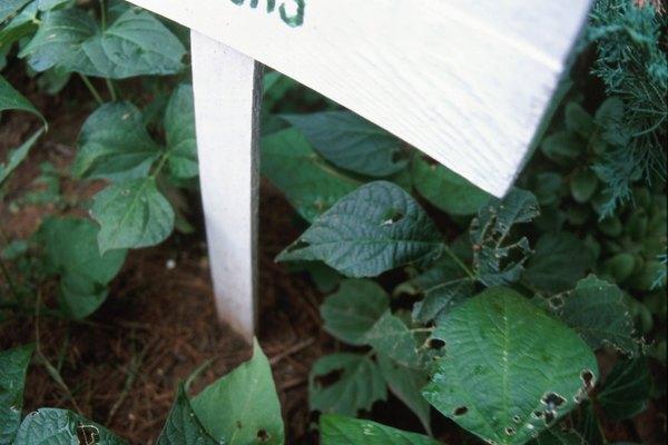 El pH del suelo apropiado es vital para el crecimiento del frijol.
