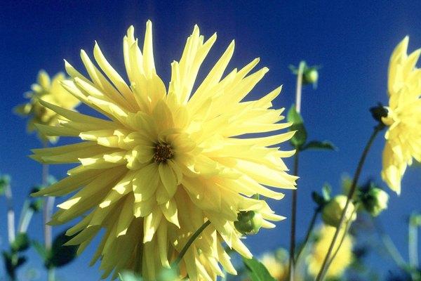 Flores de dalia amarilla.