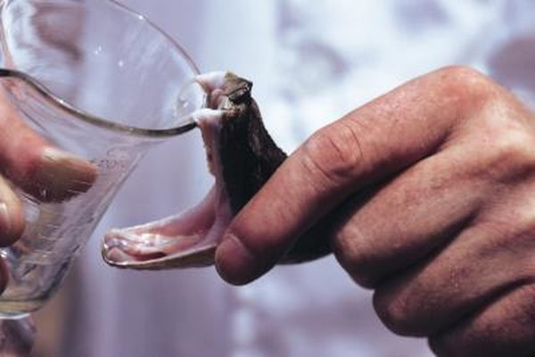 Algunos herpetólogos extraen venenos para el uso en antiofídicos.