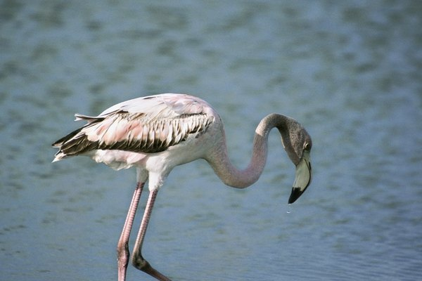 Single flamingo standing in water in Bonaire, Caribbean