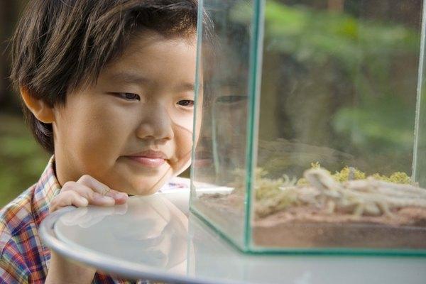 Los lagartos overo deben ser criados dentro de un terrario espacioso.