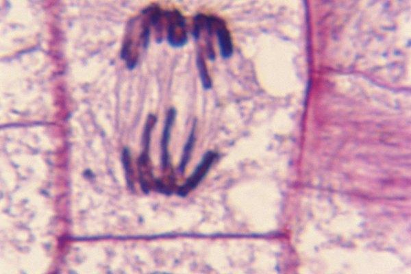 La mitosis es el proceso de división celular en las células eucariontes.