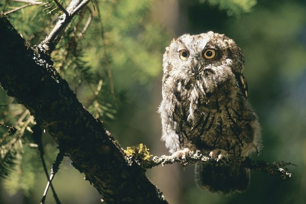 Screech owl in tree