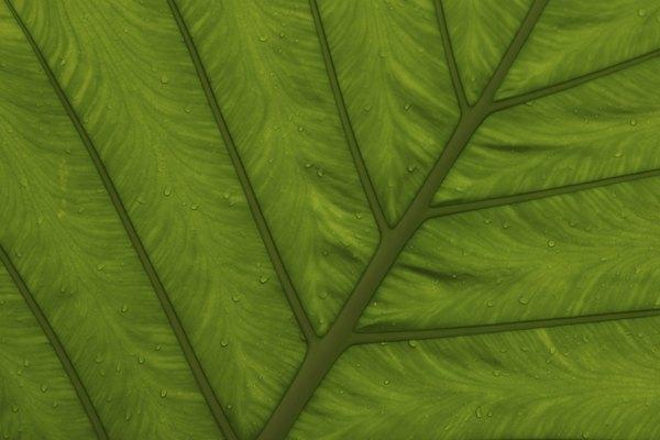 Los estomas son pequeños orificos presentes en las hojas y los tallos de las plantas.