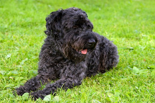 black dog terrier on the grass