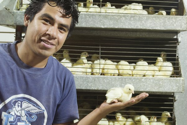 Employee holding up chicks for sale
