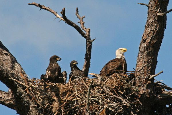 Bald eagle in nest with 2 eaglets